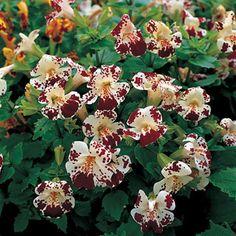Monkey Flower Magic White Blotch Hybrid