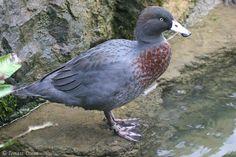 Blue Duck (Hymenolaimus malacorhynchos) An adult bird on a ground.