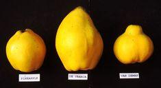 Quince varieties  http://www.dpi.nsw.gov.au/__data/assets/image/0003/123159/quince-varieties-2.jpg