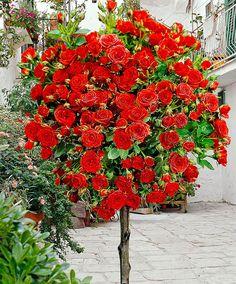 Standard Rose 'Stromboli'   Roses from Bakker Spalding Garden Company.  http://www.spaldingbulb.co.uk/product/standard-rose-stromboli-/ ❤️
