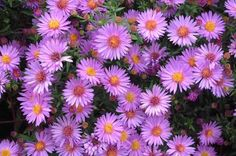 Top 10 Plants for Clay Soil -- Slow-draining clay soil makes life difficult for many plants. Not to worry: these 10 plants for clay soil thrive in it. (These are asters.)