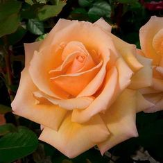 Over The Moon® Hybrid Tea Rose Bush - Bareroot