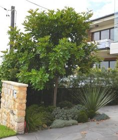 Tuckeroo - a great tree can be kept small near the building and provides leaves all year round