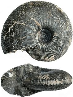 Ammonite, Nautilus, Paleo, Cabinet, Stone, Pattern, Inspiration, Artworks, Pretty Fish