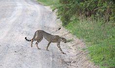 Cheetah crossing the road in Tarangire