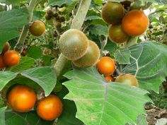 Lulo Fruit or Naranjilla Fruit comes from Central and South America ...