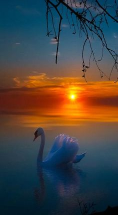 ✧ Mesmerizing Nature ✧ - coiour-my-world: A Dreamy Evening ~ Tore H. Beautiful Swan, Beautiful Sunrise, Beautiful Birds, Beautiful World, Animals Beautiful, Beautiful Places, Cool Pictures, Beautiful Pictures, Nature Wallpaper