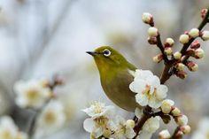 Japanese white-eye by Mubi.A