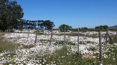 WHITE FLOWER SNOW - We love a decent sprinkling of West Coast snow!!!  #westcoast #flowerseason #southafrica Beach Tops, Open Up, West Coast, White Flowers, South Africa, Vineyard, Outdoor Structures, Snow, Seasons