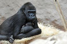 On December 13, 2004, keepers at Prague Zoo rejoiced at the birth of the first baby gorilla in the Czech Republic