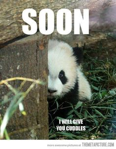 Little panda's tender threat…