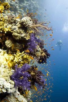 Coral reef in Egypt. Coral Reef Plants, Coral Reef Craft, Coral Reefs, Coral Reef Drawing, Underwater Life, Ocean Creatures, Exotic Fish, Ocean Life, Marine Life
