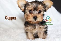Available Micro Teacup Yorkies* Toy Yorkie Puppies* Yorkie Terrier Puppies *Parti Yorkie Puppies *Chocolate Yorkie Puppies *Merle Yorkie Puppies *Socal Yorkie Teacup Puppies Yorkie Breeders, Toy Yorkie, Yorkie Puppy For Sale, Yorkie Dogs, Puppies For Sale, Yorkies, Puppies Near Me, Toy Puppies, Toy Dogs