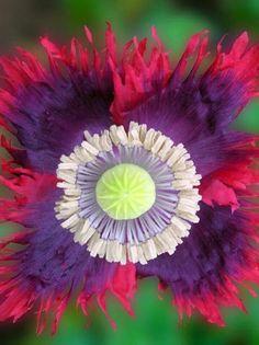 Papaver by One Stop Poppy Shoppe. Unusual Flowers, Rare Flowers, Amazing Flowers, Colorful Flowers, Beautiful Flowers, Bonsai Plants, Bonsai Garden, Garden Plants, Poppy Flower Seeds
