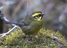 Yellow-striped brush-finch.