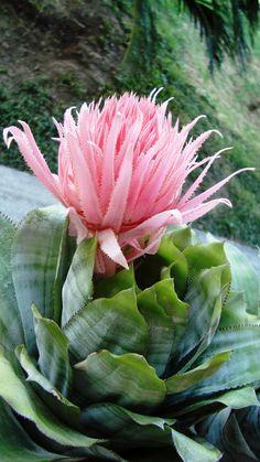 Bromelia Rosa Aechmea Fasciata