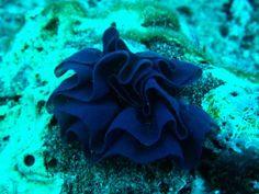 Nudibranch eggs.