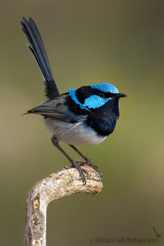 I love fairy wrens, I've included this photo because we received a framed picture of a pair of wrens for our engagement.
