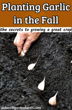 Planting Garlic in the Fall - the secrets . Planting Garlic In Fall, Worm Castings, Compost, Old World, The Secret, Garden Mulch, Bulbs, Plants, Food