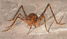 Spider Cricket Facts