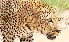 Wildlife Advocates are on the Hunt for Increased Protections for African Leopards from American Trophy Hunters. Wild Leopards need our help.