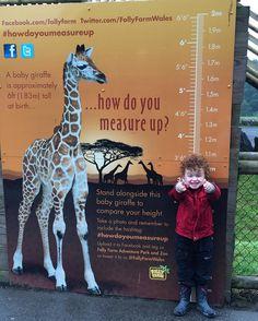 A bit taller with his hair! #follyfarm #giraffe #howdoyoumeasureup @follyfarmwales