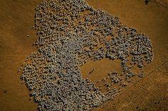 Koyun Sürüsü, Tierra del Fuego Adaları, Arjantin