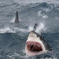 sea life - sea life photography - sea life underwater - sea life artwork - sea life watercolor sea l Shark Gif, Big Shark, Shark Cage, Shark Shark, Nurse Shark, Shark Pictures, Shark Photos, Orcas, Save The Sharks