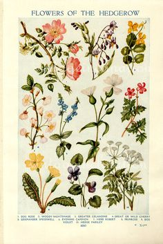 Vintage Botanical Prints - Flowers of the Hedgerows