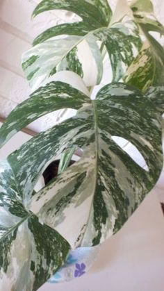 Exact-Plant-Aroid-Philodendron-Variegated-Monstera-Tropical-live-Vine-Awesome
