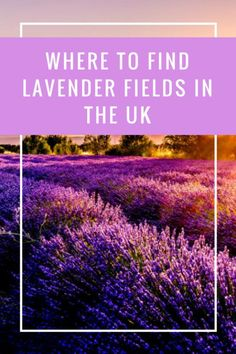 A comprehensive guide to where to find lavender fields in the UK - Mayfield Lavender, Hitchin, Norfolk Lavender, Yorkshire Lavender, Kentish Lavender Days Out With Kids, Family Days Out, Norfolk Lavender, England And Scotland, Lavender Fields, Family Travel, Travel Uk, Travel Tips, Where To Go