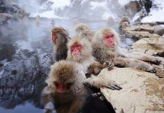 Snow monkeys in onsen in winter Jigokudani Nagano Japan