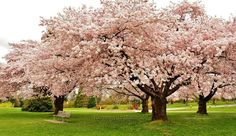 Never get tired of the cherry blossoms in Vancouver. Queen Elizabeth Park April 2014