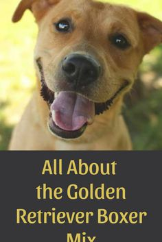 All About the Golden Retriever Boxer Mix #boxermix #goldenboxer #goldenretriever Schnauzer Dogs, Schnauzers, Boxer Mix Puppies, Brindle Boxer, Adoptable Beagle, Bull Terrier Dog, Labrador Retriever Dog, Bernese Mountain, Mountain Dogs