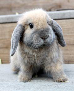 petit lapin gris très mignon