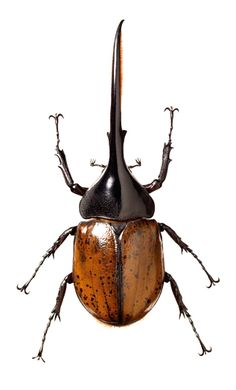 Dynastes Hercules Beetle