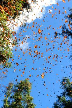 Santuario de las mariposas Monarca, en Michoacán, México.