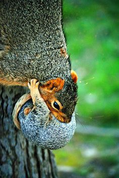 Mom with baby squirrel. Photo by heathergrill via Flickr