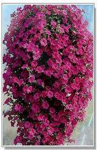 30 nasiona/paczka wiszące petunia nasiona kwiatów róży czerwone faliste(China (Mainland))
