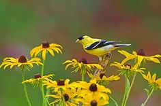 How to Attract Goldfinches With Your Garden (seeds; coneflowers; thistle;raspberry bushes for nesting purposes)