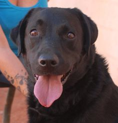 Molly would like to share her unconditional love with you.  She is a Labrador Retriever with a beautiful spirit, 6 years of age and spayed, debuting for adoption today at Nevada SPCA (www.nevadaspca.org).  Molly is housetrained and good with dogs (medium and large-size) and older kids.  We rescued her from another shelter that asked for our help.  Please visit and ask for Molly by name.