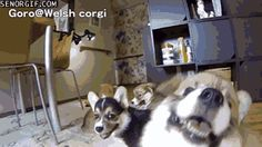 Corgi Puppy Horde Chases After Camera