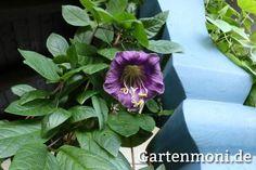 Glockenrebe pflanzen,  pflegen, schneiden und überwintern