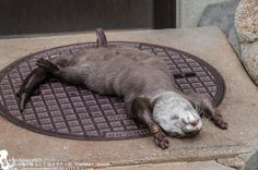Very tired otter