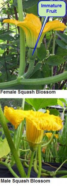 How to tell the difference between a male and female squash blossom. You don't want to eat the female blossoms. Learn why.
