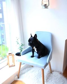 """@barfotabarnet I still can't believe I won this beautiful chair?!🙈 Thank you so much @hubschinterior ✨ It fits perfect in our little apartment and @zorrolefrenchbulldog truly enjoys the view from """"his"""" new blue throne 🙈😅💙 #hubschinterior #danishdesign"""