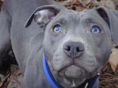 Pitbull with Blue Eyes | Silver Pitbull With Blue Eyes Would he be considered a blue