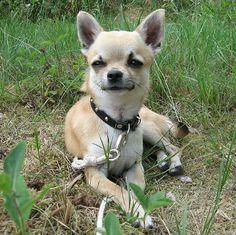 the Chihuahua!