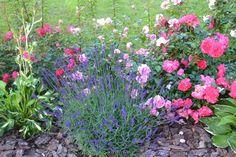 Rosenbeet Beispiel Beets, Plants, Design, Garden Ideas, Gardening, Planting Roses, Growing Plants, Rose Varieties, Delphinium