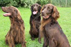 Dax, Leo & Gus [Deutsch Langhaar / German Long-haired Pointer / Chien d'arret Allemand à Poil Long] Unique Dog Breeds, Rare Dog Breeds, Popular Dog Breeds, Pointer Puppies, Pointer Dog, Dogs And Puppies, Dog Pictures, Cute Pictures, German Longhaired Pointer
